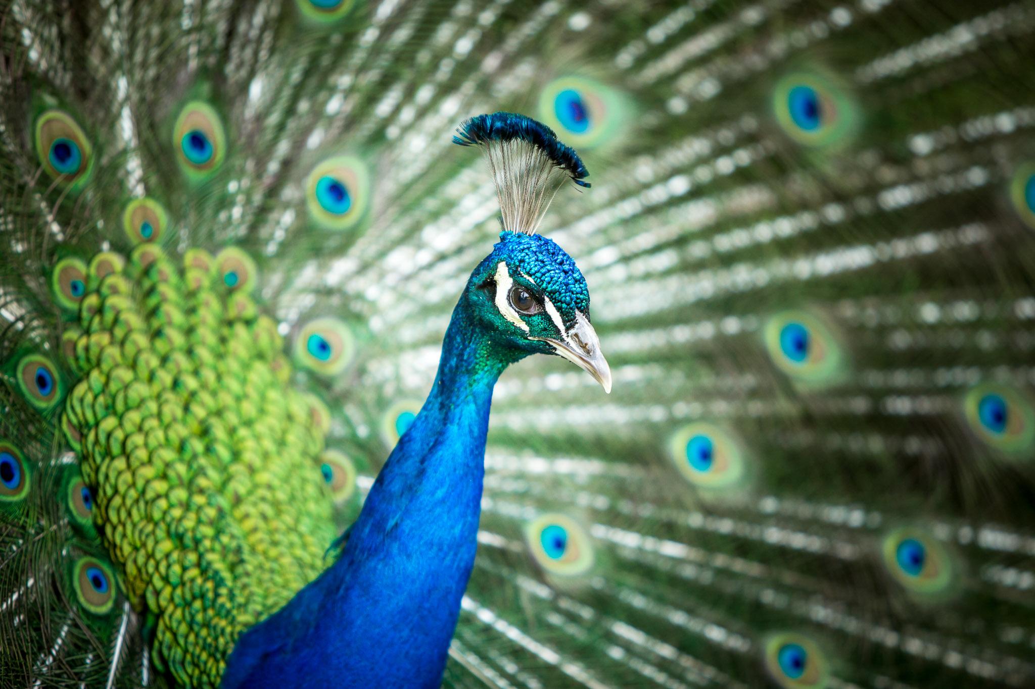 Avington Park Wedding Photographer Peacock