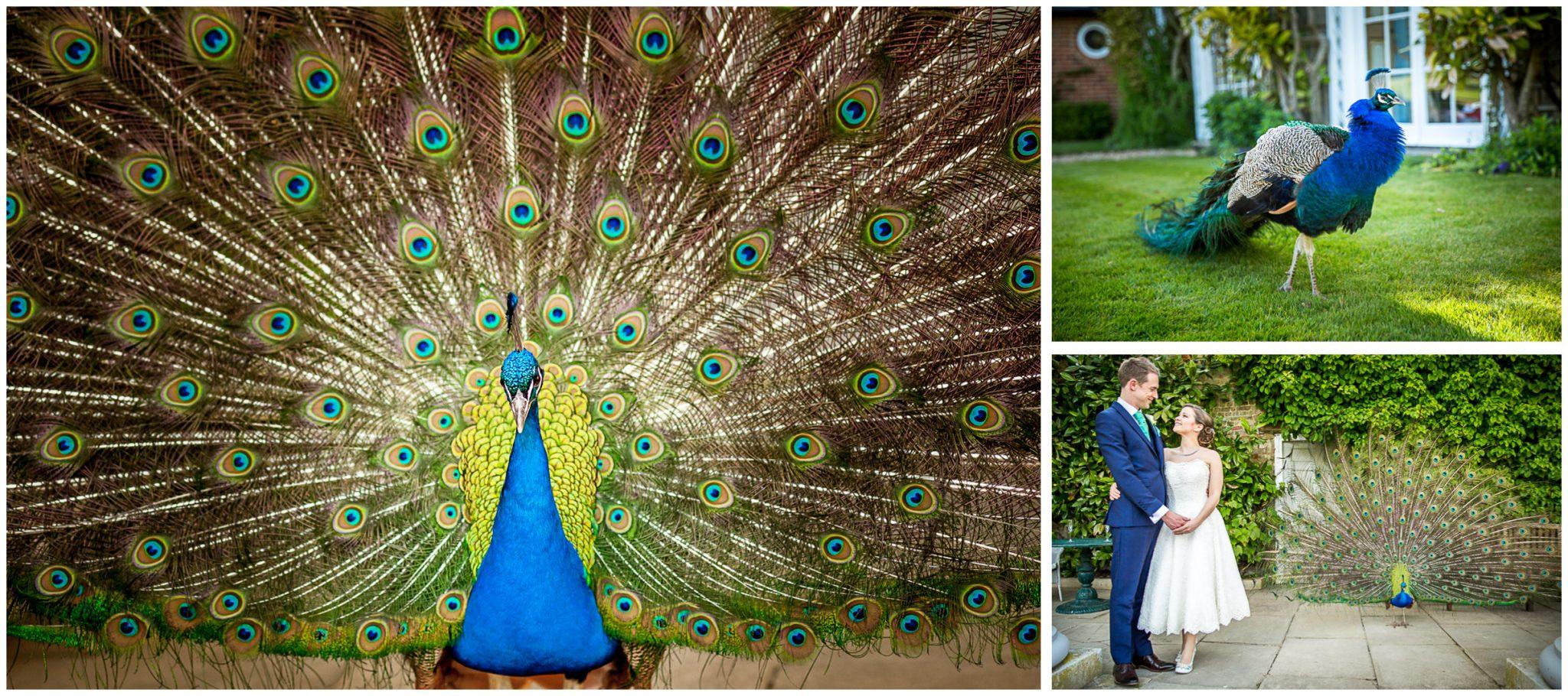 Avington Park wedding photography peacock puts on a display